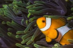 Wester Clown fish in sea anemone on coral reef in Thailand Phuket, Home Alone, Ocean Life, Amazing Destinations, Marine Life, Diving, Thailand, Fish, Islands