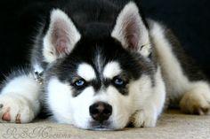 Siberian Husky puppy closeup by RS Macniven
