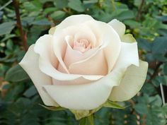 Amelia is a creamy white rose and is popular for weddings. It is similar to Vendela.