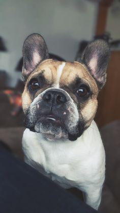 French bulldog. Frenchie