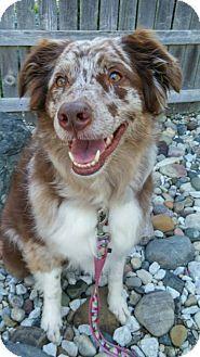 Davison, MI - Australian Shepherd Mix. Meet Cali, a dog for adoption. http://www.adoptapet.com/pet/11548155-davison-michigan-australian-shepherd-mix