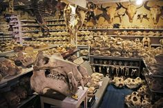 Some of bone collector Randy Bandar's 7,000 skulls, which he has been collecting for 60 years, are being exhibited at the California Academy of Sciences. Article here: http://n.pr/1kqJIXH