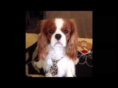 Cavalier King Charles Spaniel - Major The Talking Dog...He's a talker, a story teller, a joker.