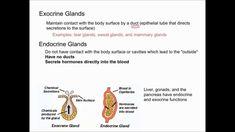 Endocrine And Exocrine Glands Difference Endocrine Vs Exocrine Glands - Youtube