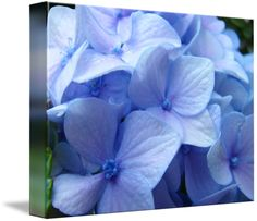 """""""Blue+Hydrangea+Flower+art+prints+Nature+Colorful""""+by+Baslee+Troutman+Fine+Art+Prints,+Roseburg,+Oregon+//+<p><b><big>Nature+Landscapes+Blue+HYDRANGEA+FLOWERS+Art+Prints,+Blue+Hydrangeas+blooming+in+Botanical+Art+Garden,+Summer+Hydrangeas+Art+Prints,+Canvas+Art,+Framed+Artwork,+Greeting+Cards.</big><br>+Follow+Baslee+Troutman+Art+Collections+at+Twitter+<a+href='http://www.twitter...+//+Imagekind.com+--+Buy+stunning+fine+art+prints,+framed+prints+and+canvas+prints+directly+from+independent+wo..."""