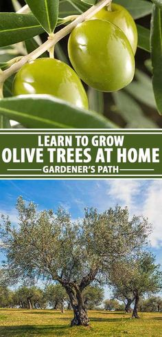 Learn everything you need to know about how to grow the majestic olive tree, a large plant that makes a dramatic landscape statement while providing delicious fruit that's suitable for preserving in brine, oil, or water, or for pressing to make a flavorful oil that's beloved by cooks around the world. Read more now. #olivetrees #growingolives #orchards #mediterraneanplants #gardenerspath