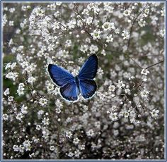 blue and white butterfly &  baby's breath tattoo idea