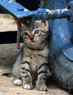 "lillypotpie: ""Blue…. (Feral / Stray kitten) by Roeselien Raimond on Flickr. """