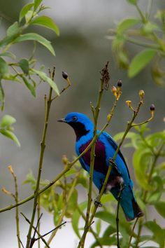 The Cotinga a blue beauty.