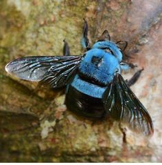 A blue bee ! Wow. Xylocopa caerulea, the Blue Carpenter Bee. This species is widely distributed in Southeast Asia, India and Southern China