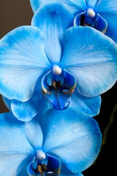 """Mystic Blue Orchid"" by Jeffrey M. Hoffman, via 500px. FYI these are dyed so when new ones comes out they are white sometimes the label tells you that sometimes it doesnt"