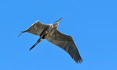 Up in the sky ❖ Là-haut dans le ciel - Great Blue Heron flying above my head…