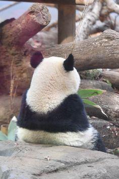 今日のパンダ(2341日目) Cute Panda Wallpaper, Bear Wallpaper, Cute Disney Wallpaper, Cute Baby Cats, Cute Baby Animals, Funny Animals, Panda Kawaii, Really Cute Dogs, Panda Images