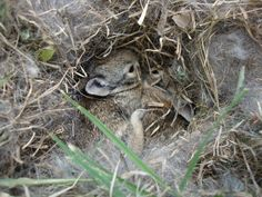A nest of cottontail rabbit babies (kits) at Enchanted Rock State Natural Area near Fredericksburg