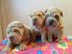 Sharpie pups..