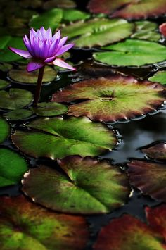 andyouwhisperyouloveme: Water Lilly © James Bitz. Flower stands out with its vivid colours amongst the dark lily pad and attracts all the attention