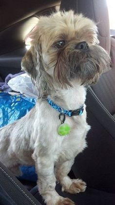 Sam's family fostered failed 7.27.14! Meet Sam. Sam is a 3 year old Shih Tzu that came to us from PAWS. Sam was heartworm positive and is now going through treatment. He has 3 more weeks of greatly reduced activity then he will be ready to start looking for his forever home. Please make sure your dogs are one heartworm prevention. The treatment is costly and not easy on the dog. Welcome Sam. www.fosterpetoutreach.org @FPOPets on twitter/instagram or on FB