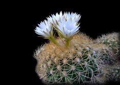 Discocactus zenthneri ssp. boomianus AH 311
