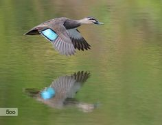 A Pacific Black Duck in flight displaying its Iridescent green speculum which is a patch, often distinctly coloured, on the inner remiges of some birds.  The Iridescent green speculum is only visible in flight.