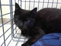 URGENT!! DINA - ID#A0996947  I am an unaltered female, black Domestic Shorthair.  The shelter staff think I am about 4 months old.  I was found in NY 11423.  I have been at the shelter since Apr 17, 2014. For more information about this animal, visit: Animal Care and Control of New York City - Brooklyn Ask for information about animal ID number: A0996947
