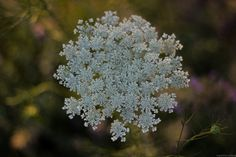 "https://flic.kr/p/KpaPTh | wild snowflakes* | wild flower. from my series,""Of Nature."" photograph was taken at BV, OH,…"