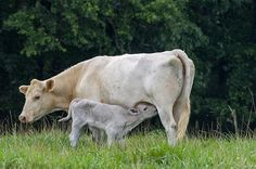 """I once did a promotion with a team to promote milk using the slogan """"Got Milk.""""  This would also make a great title for this work, Chris!  Love the sweet loving expression on the baby calf and the mama cow...so precious!  Love this!  Fave!"""