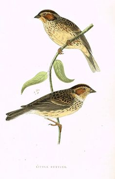 """Morris's Birds - """"LITTLE BUNTING"""" - Hand Colored Wood Engraving - 1895"""