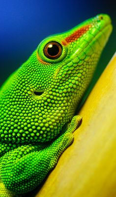 The Madagascar Gecko. One of the largest day geckos still living. They inhabit the sides of trees on the edge of rain forests. They particularly like banana trees. Beautiful Creatures, Animals Beautiful, Cute Animals, Reptiles Et Amphibiens, Salamander, Paludarium, Mundo Animal, Pet Birds, Animal Kingdom