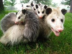 by: Possum Possee ..A Virginia opossum female may have as many as 25 babies, but she usually will have between seven to eight. The reason opossums have so many babies to insure that some of them survive. Like most marsupials, opossums are very small when they are born - about the size of a navy bean. The babies climb up the mother's fur and into her pouch where they find a teat.