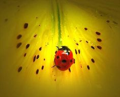 How to Attract Ladybugs to Your Garden  Besides eating aphids, lady beetles are depend on pollen as a food source and seek certain types of flowering plants, including dill, cilantro, yarrow, wild carrot, angelica, cosmos, geraniums and dandelions.