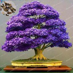 100% True Japanese Purple Maple Bonsai Tree Cheap Seeds, 20 Seeds/pack, Very Beautiful Rare Bonsai Plants Tree