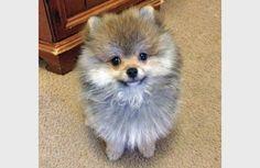 pomeranian puppy cutest small pomeranian cute