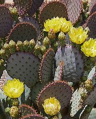 Cactus blooms  (I have this nearly 20 year old cactus and weathers Michigan winters..amazing!)