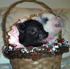 Piggies in a basket!