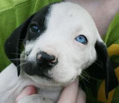 Tiny - A Big Heart with Love to give is an adoptable Hound Dog in Salem, NH. Hi! My name is Tiny, I am 7 weeks old, and am a lab mix. I am a sweet little Girl, so I don't know why someone just left me...