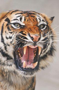 Nature Madness | Angry Tigress | Tambako