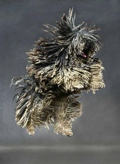 Puli leaping