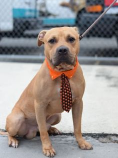 WHY???? 💔💔💔💔 LOOK AT THIS PRECIOUS STUNNING LITTLE MAN!! EAGER TO LEARN FROM HUMANS HOW TO ACT GROWN UP!! THERE ARE NO RECENT MEDIACALS ON HIM!! HE WAS HEARTLESSLY MURDERED 10/5/16 💔💔💔💔 Brooklyn center BOITA – A1091354 MALE, TAN, AM PIT BULL TER MIX, 1 yr, 6 mos OWNER SUR – EVALUATE, NO HOLD Reason NO TIME Intake condition EXAM REQ Intake Date 09/26/2016, From NY 11373, DueOut Date 09/26/2016,