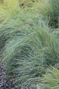 Lomandra Confertifolia- Seascape Australian Native Garden, Australian Native Flowers, Lomandra, Front Yard Plants, Mountain Nursery, Plant Catalogs, Types Of Plants, Back Gardens, Native Plants