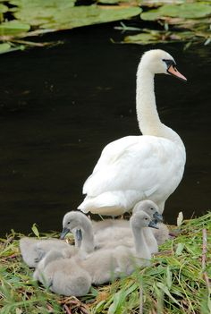 Swans - One happy family.
