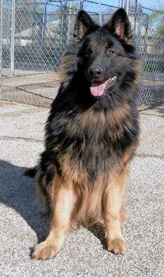 Screw wanting a German Shepherd; I want A KING SHEPHERD!!!