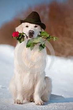 White English Cream Creme Golden Retriever with a Long Stem Red Rose.