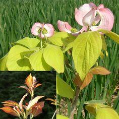 Cornus florida LT 'Soleil printanier'  : pep Le Try. Bractées roses et floraison remontante