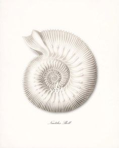 Coastal Decor Ernst Haeckel Nautilus Sea Shell Giclee Art Print