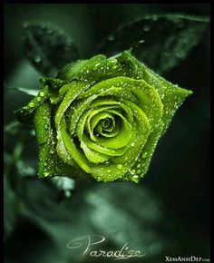 Love the color green! Beautiful flower pic.
