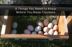 8 Things You Need to Know Before You Raise Chickens - MoneySavingQueen - April 2014