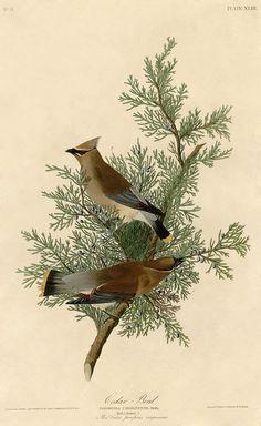 Cedar_Bird_(Audubon).jpg 872×1422 pixels