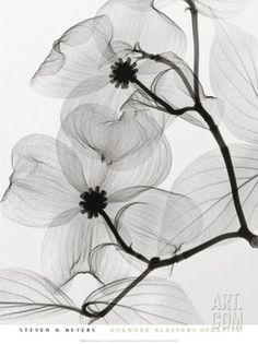 Dogwood Blossoms Positive Kunst von Steven N. Positive Kunst, Positive Art, Frames On Wall, Framed Wall Art, Framed Canvas, Fotografia Macro, White Art, Black White, Pretty Black