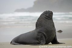Whakahao by quarrresma / João Quaresma, via Flickr - New Zealand Sea Lion (Phocarctos hookeri). It´s the most threatened pinniped in the world.  I had the privilege to photograph some males at Sandfly beach in Otago peninsula.