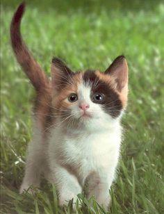 calico kitten ,